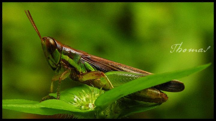 Clippedwing Grasshopper