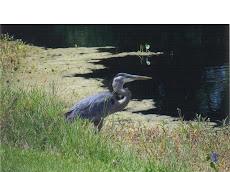 Blue Heron at Tumblin Creek Park