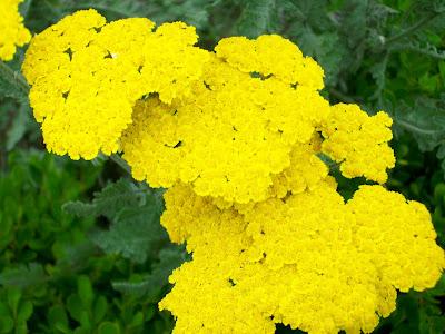 Fern Leaf Yarrow Flower