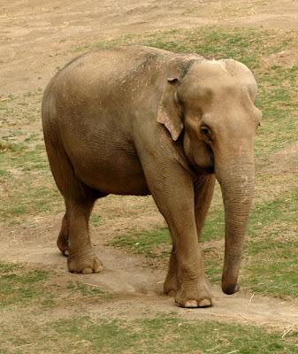 DSC_6609--elephant,+Indian,+female+en+ca.jpg