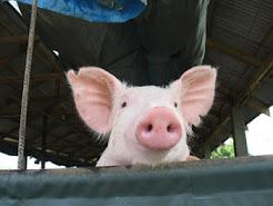 Own a Pig Farm