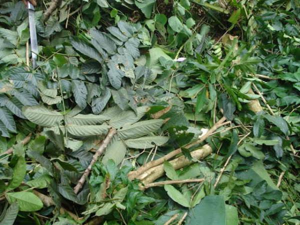 Manejo de Sistemas Agroflorestais. Cobertura do solo e geração de matéria orgânica.