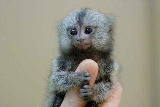 Paranormal And Strange World Finger Monkey