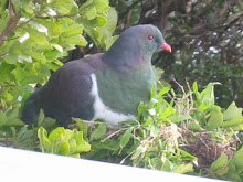 Kereru at Portage
