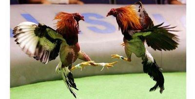 Gallos de peleas