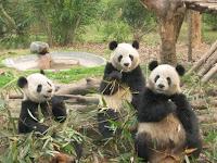 Szechun's Panda