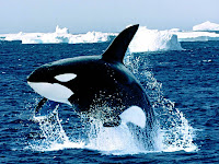 Killing Whale