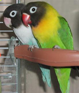 Mengenal Lovebird 'Si Burung Cinta Dari Afrika'