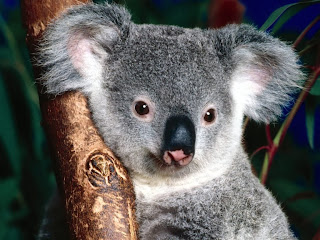 Cuddly Koala wallpaper