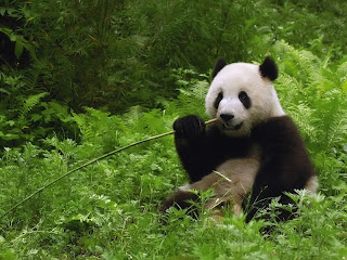 Panda Eatting wallpaper