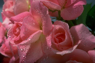 Bunch Of Pink Roses wallpaper