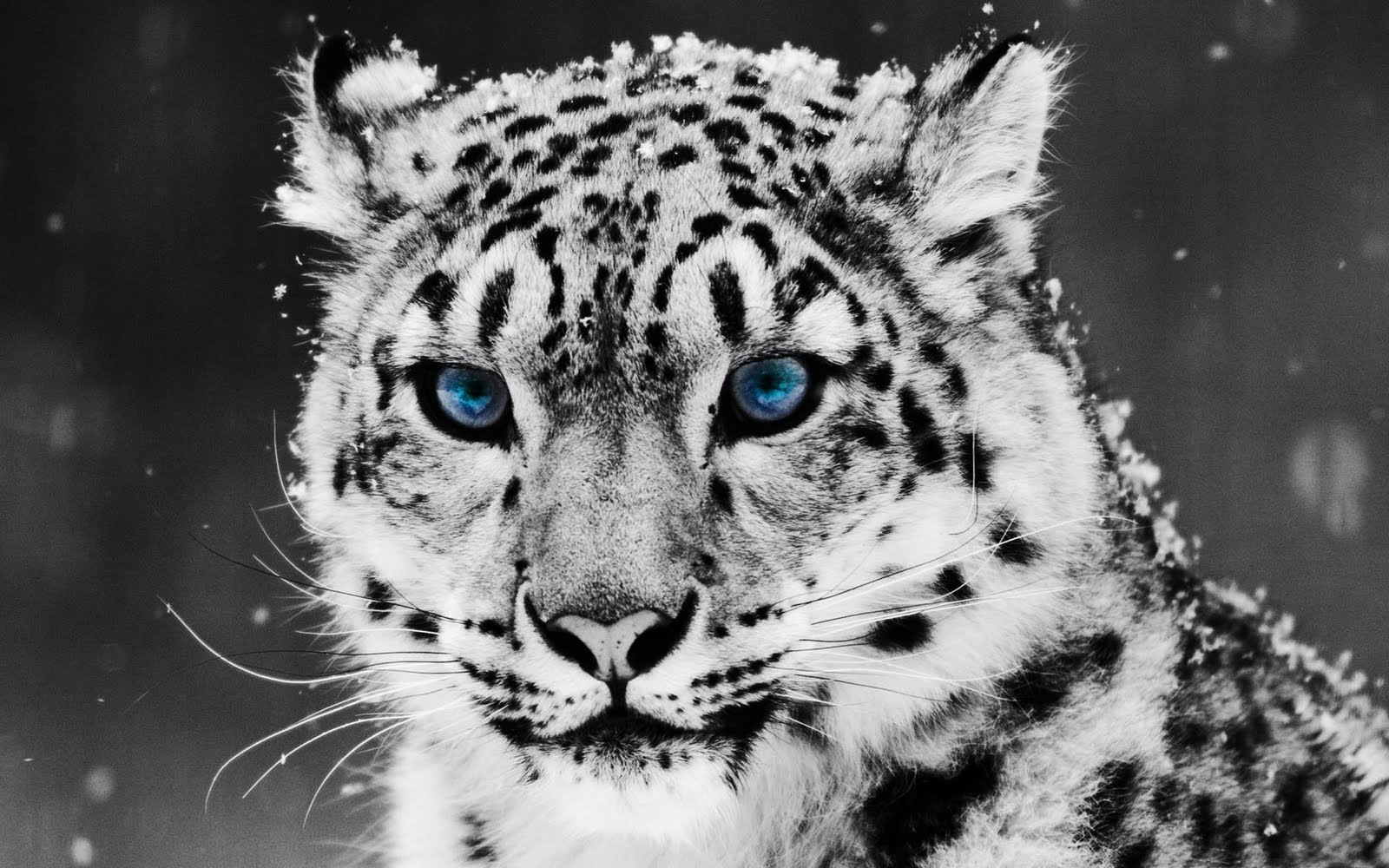 snow leopard wallpaper