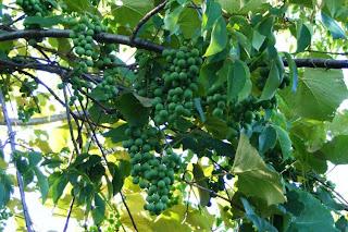 feral Concord grapes