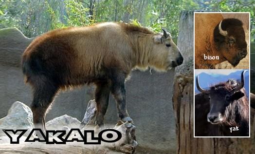 Yakalo ( Bos grunniens x bison bison )