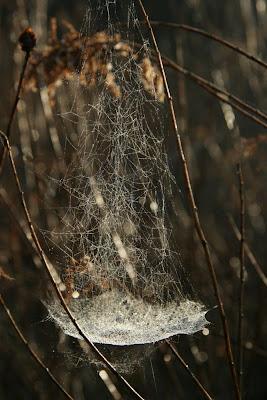 bowl+and+doily+spider+web,+Frontinella+communi.JPG.jpg Bowl And Doily Weaver Spider