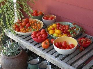 Winning Tomato