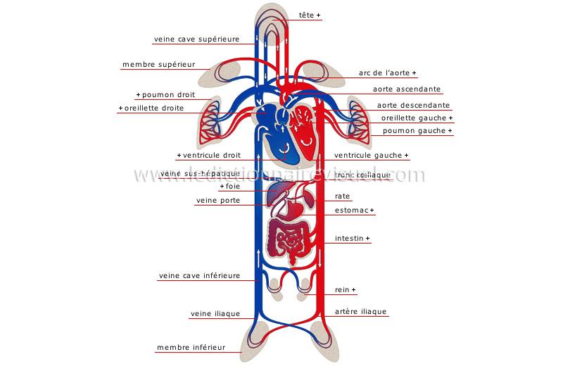 schema de circulation sanguine