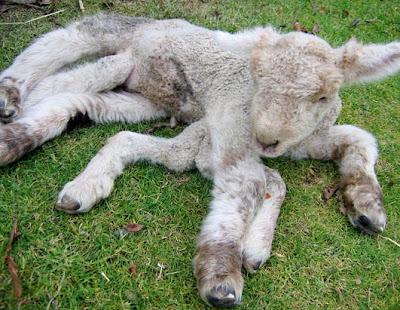 تعالو شوفو الحيوانات الغريبة animal_oddities_seven_legged_lamb.jpg