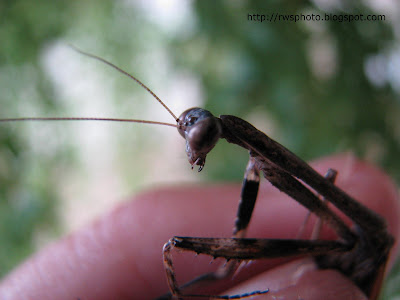 Brown Praying Mantis of Borneo