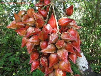 Baccaurea angulata - Belimbing Merah