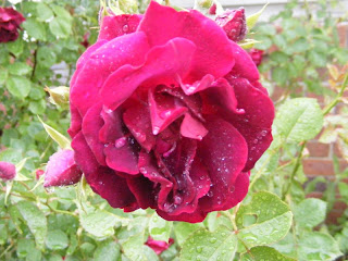 Another Rainy Rose photo by T