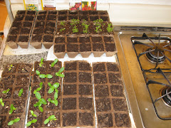 My kitchen, taken over by seedlings...