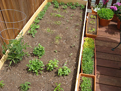 4/8... Peppers in front, the tomatoes, basil, mint, cilantro, beans along the left, cukes on right