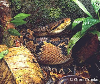 Download image South American Bushmaster Snake PC, Android, iPhone and ...