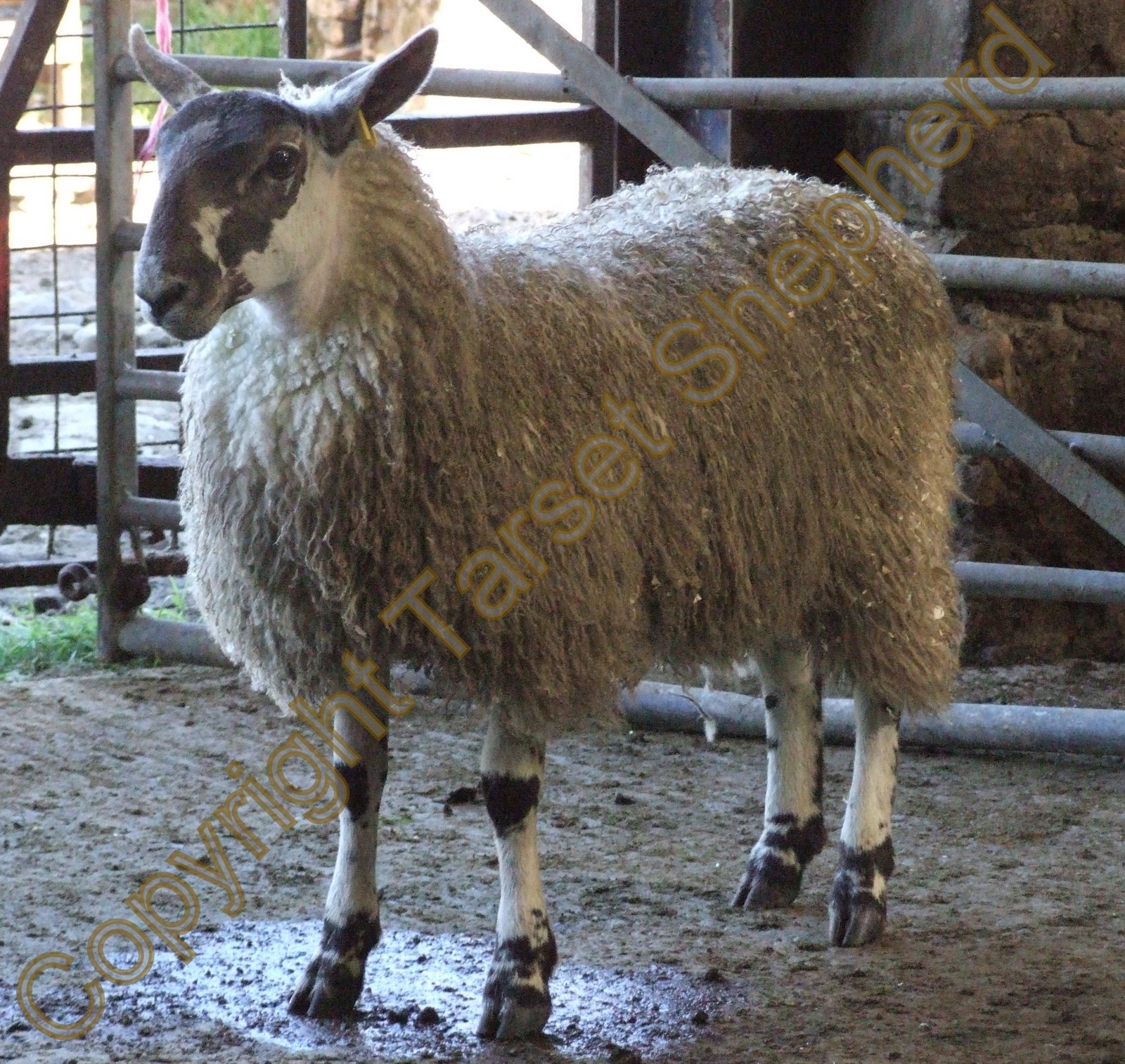 Shepherd S Blog Ugly Sheep