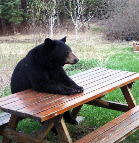 http://4.bp.blogspot.com/_YyXZ9LFygq0/TNz8IsC_KUI/AAAAAAAAC_0/le4oYHveGVg/s1600/bear-sitting-picnic-table.jpg