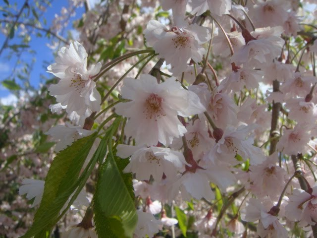 weeping cherry tree blossoms pink photo by oystergirl