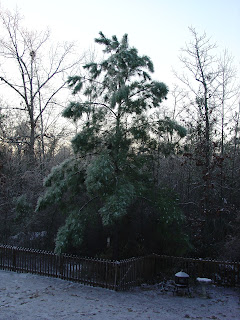 Pine Tree with sagging branches from the weight of the ice in Vicky's backyard