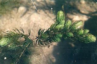 Hornwort – Ceratophyllum