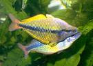 Rainbow Fish Melanotaenia Picture