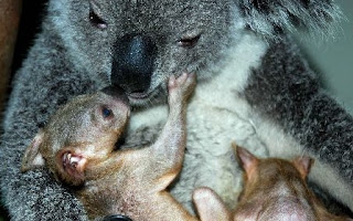 Newly Born Twin Koalas Showed Up in Guangzhou