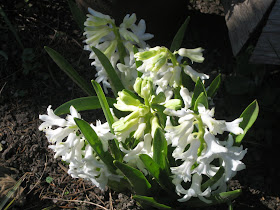 White hyacinths
