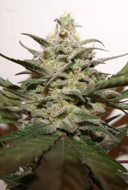 Platinum OG Kush Marijuana Plant