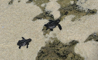 two baby turtles released on Nusa Lembongan