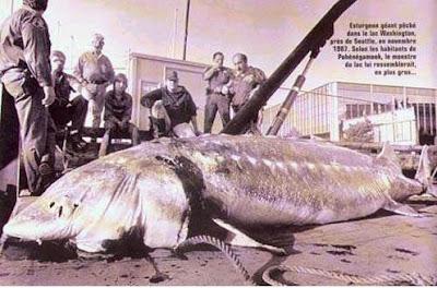Giant sturgeon caught near Seattle