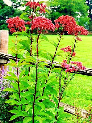 Joe Pye weed in Gateway Red
