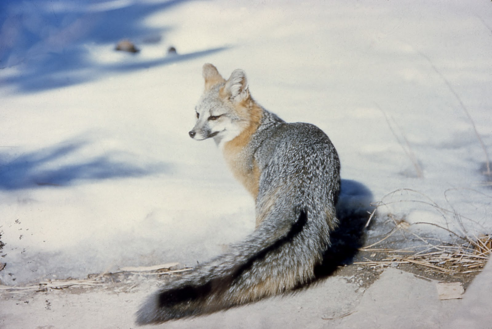 princeton landing news nature guide gray fox. Black Bedroom Furniture Sets. Home Design Ideas