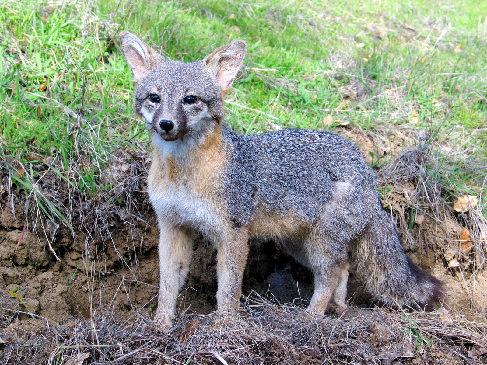 Princeton Landing News Nature Guide Gray Fox