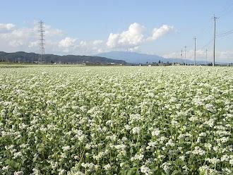 村山西部の蕎麦畑