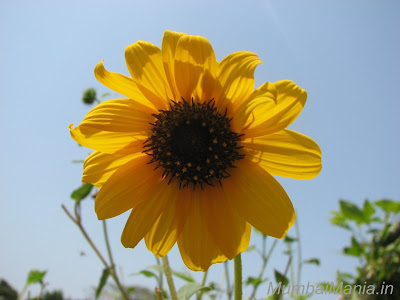 sun flower growing at the hanging garden
