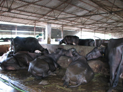 Tabela cow shed at baba dairy