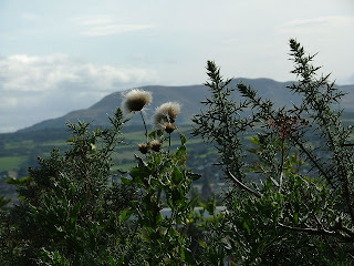 Thistles (Pentlands in background)