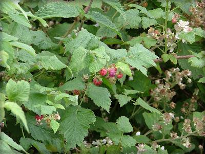 Raspberries nom nom