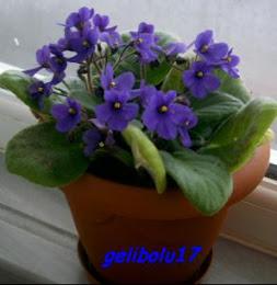 Gelibolu17