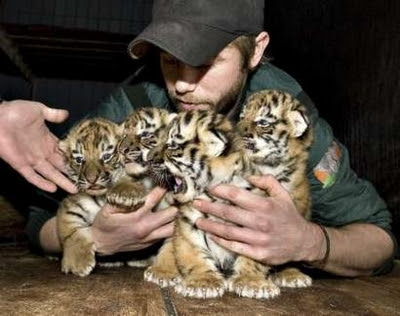 pictures of tigers and cubs. Siberian tiger cubs poses