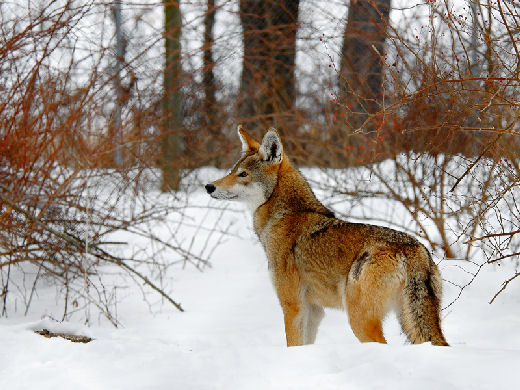 Collections &amp; Selections: Taxonomy of a Red Wolf